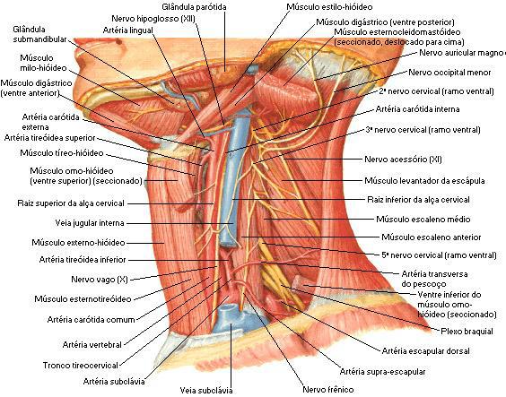Anatomia da região cervical